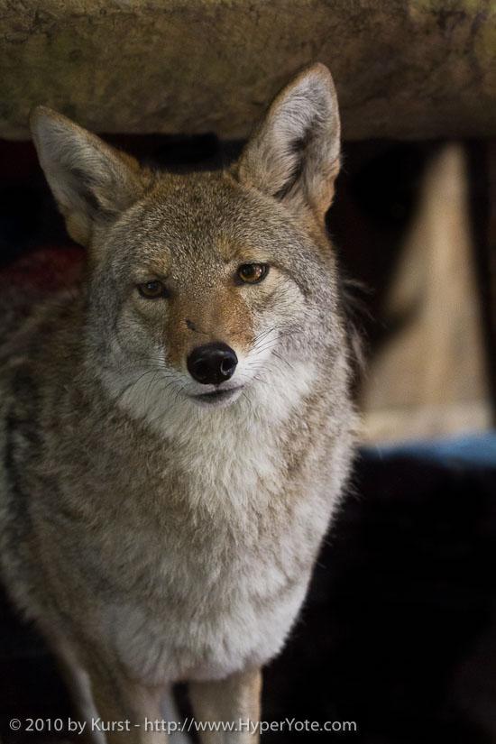 coyote-come-into-my-home